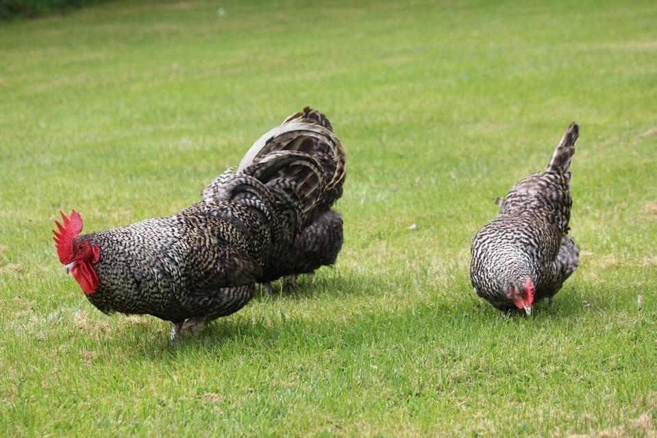 scots dumpy chicken