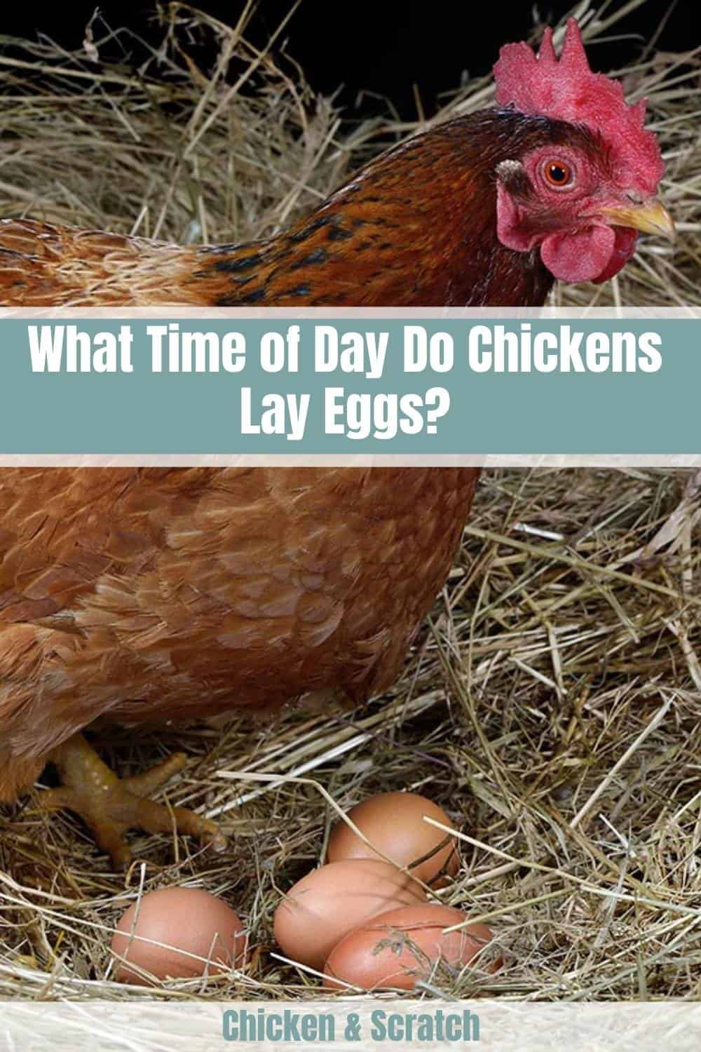 when do chickens lay eggs in a day