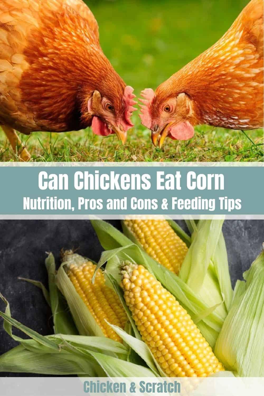 Chicken Eat Corn