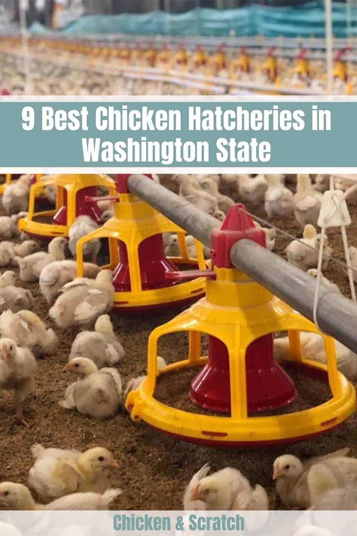 Chicken Hatcheries Washington State