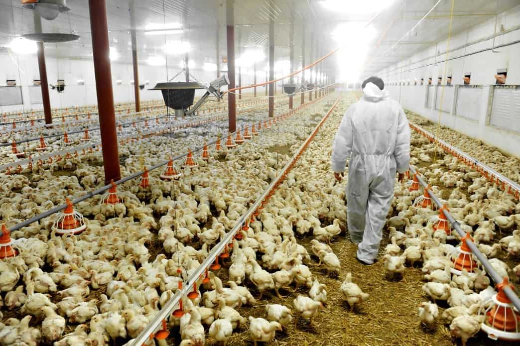 Chicken Laws in the Washington States