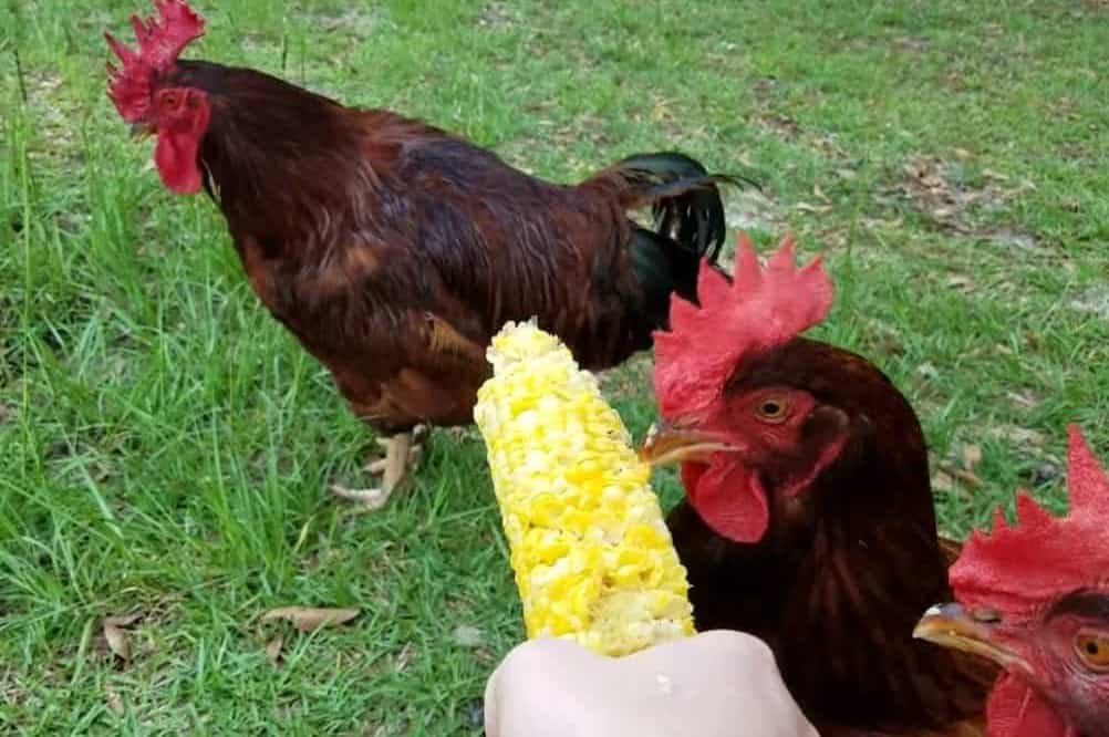 How much corn should you feed chickens