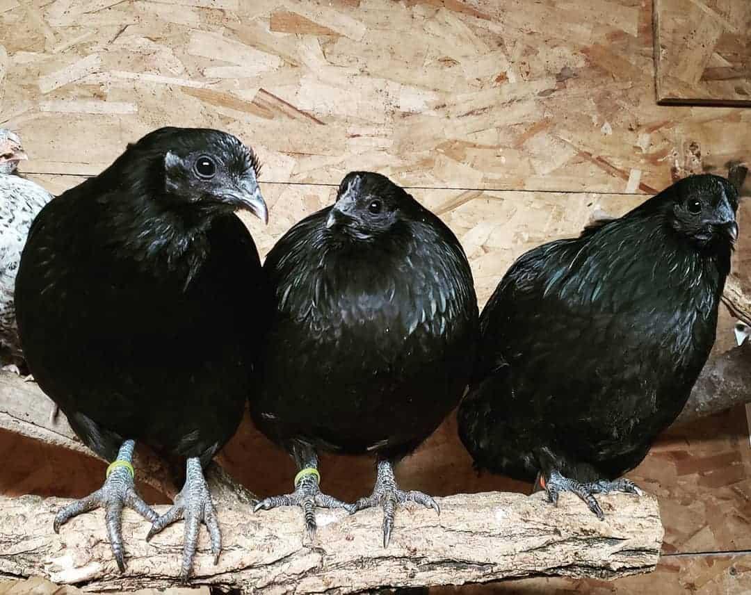 Raising Swedish Black Hen