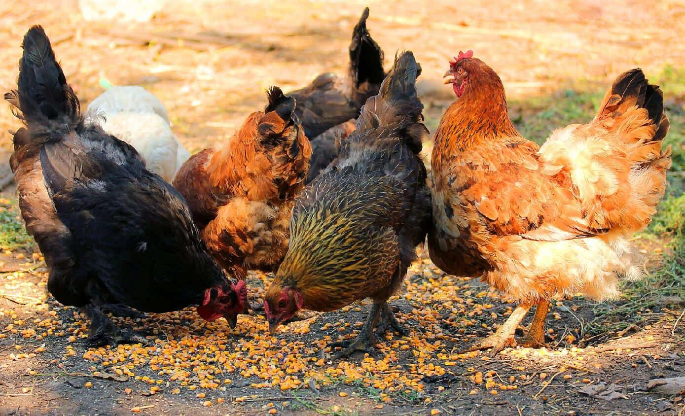 What type of corn can chickens eat