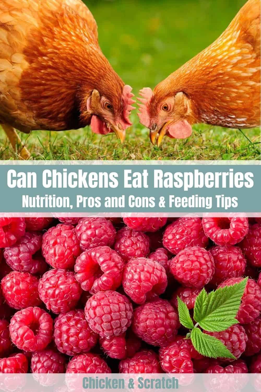 can chicken eat raspberries