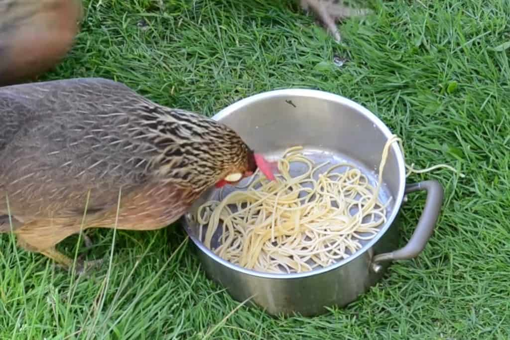 can chickens eat noodles