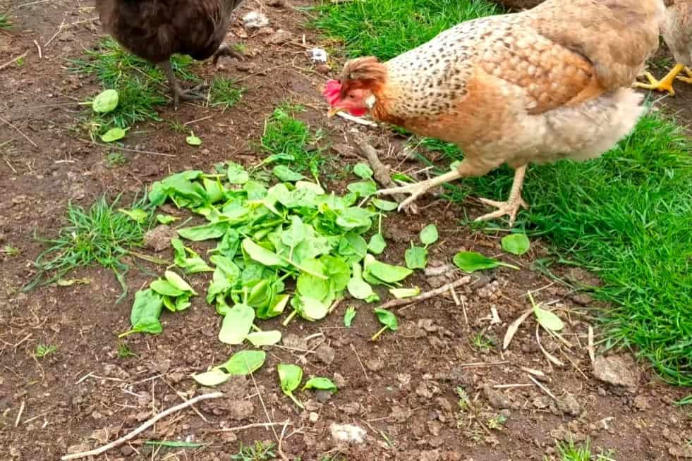 can chickens eat spinach