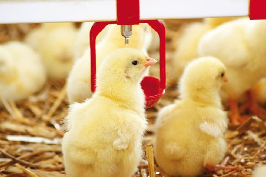 chick hatcheries pa