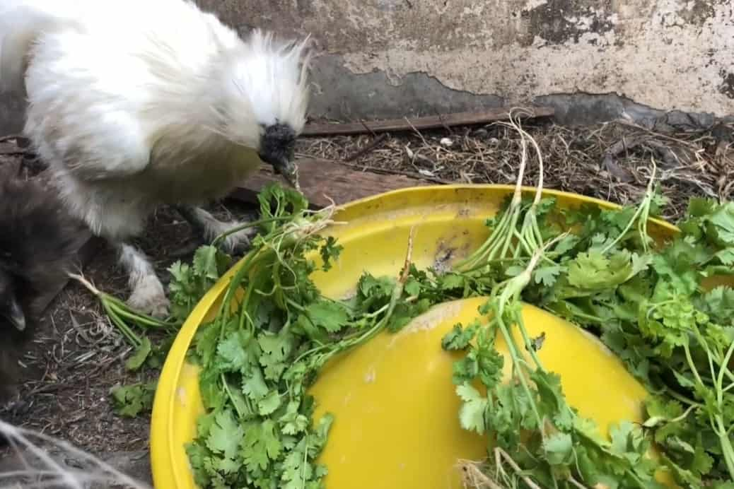 chicken eat cilantro