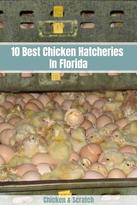 chicken hatcheries florida