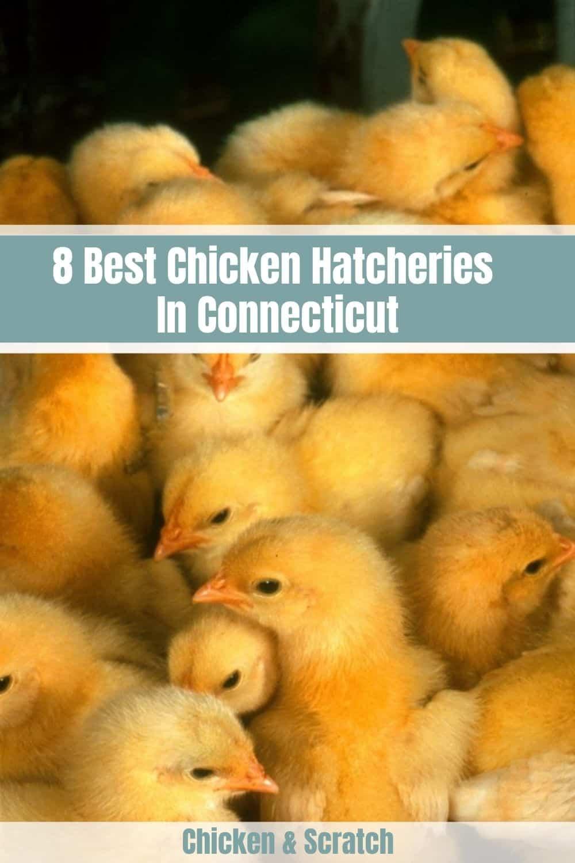 chicken hatcheries in ct