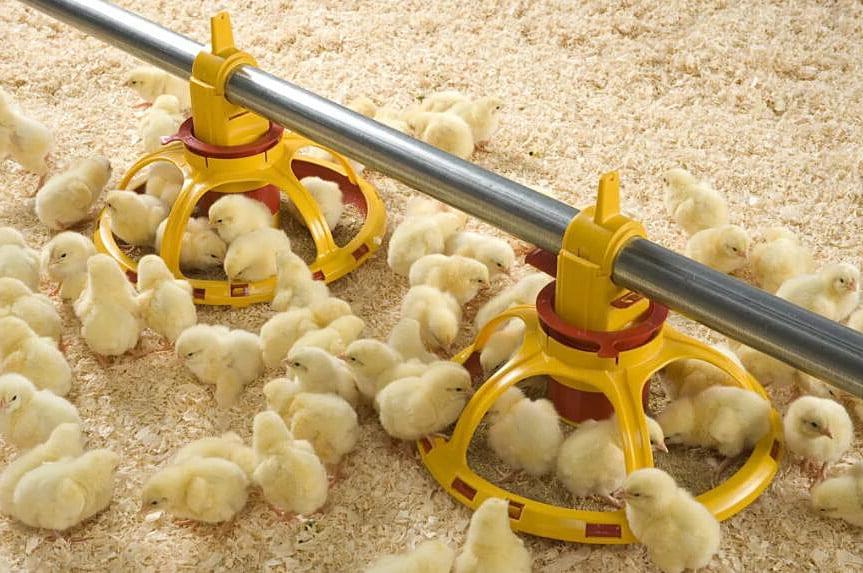 chicken hatcheries mn
