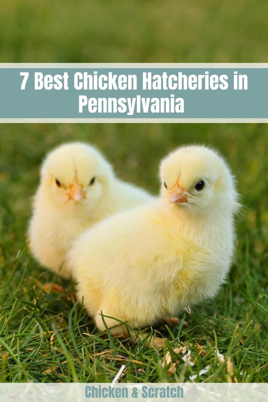 chicken hatcheries pa