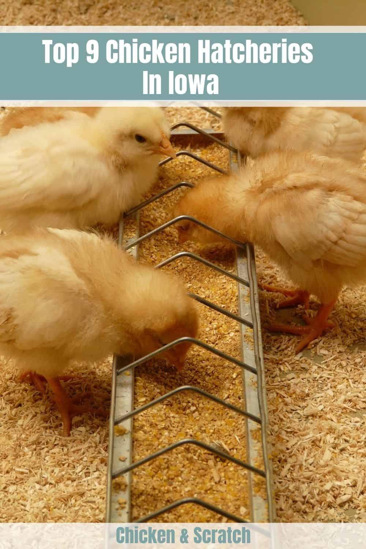 chicken hatchery in iowa