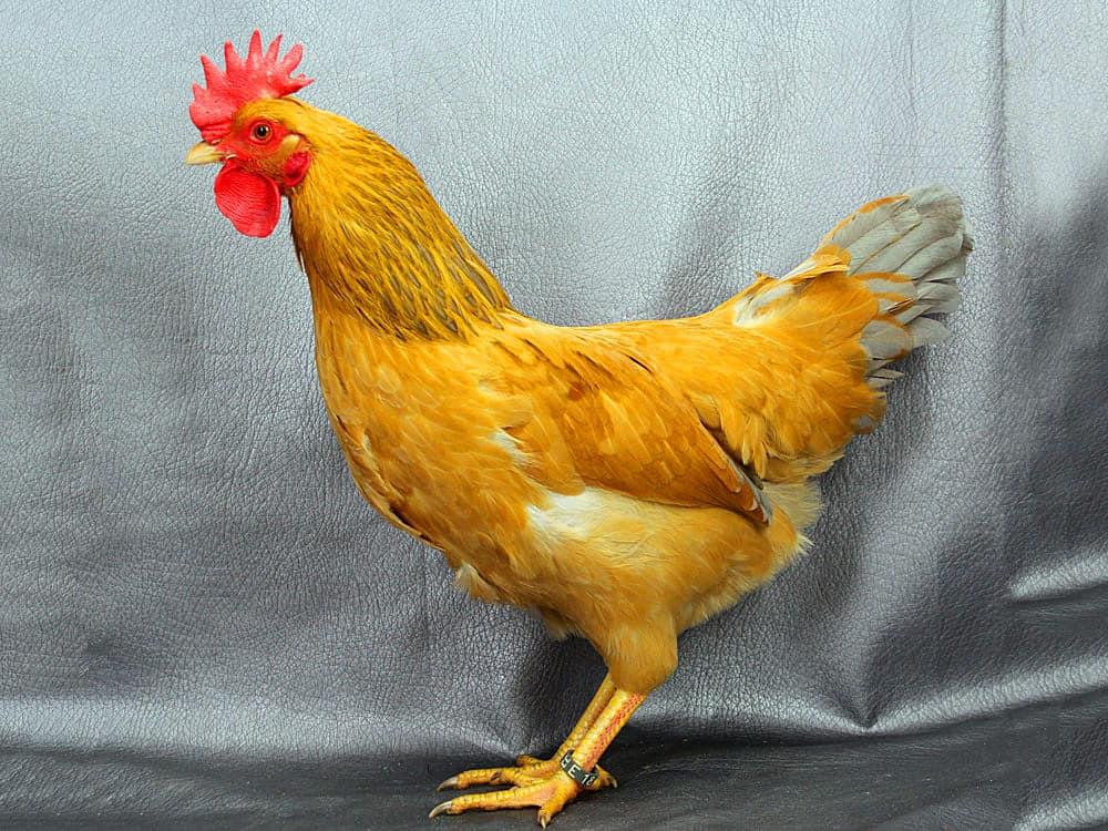 chicken wattle