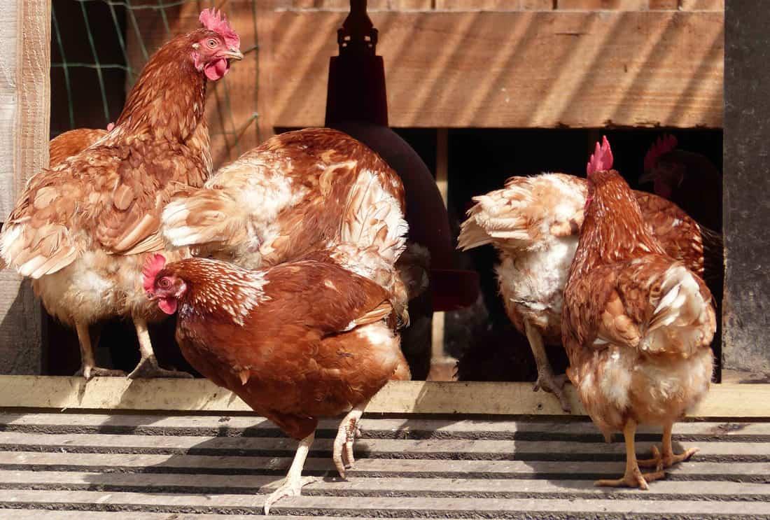 chickens colorado
