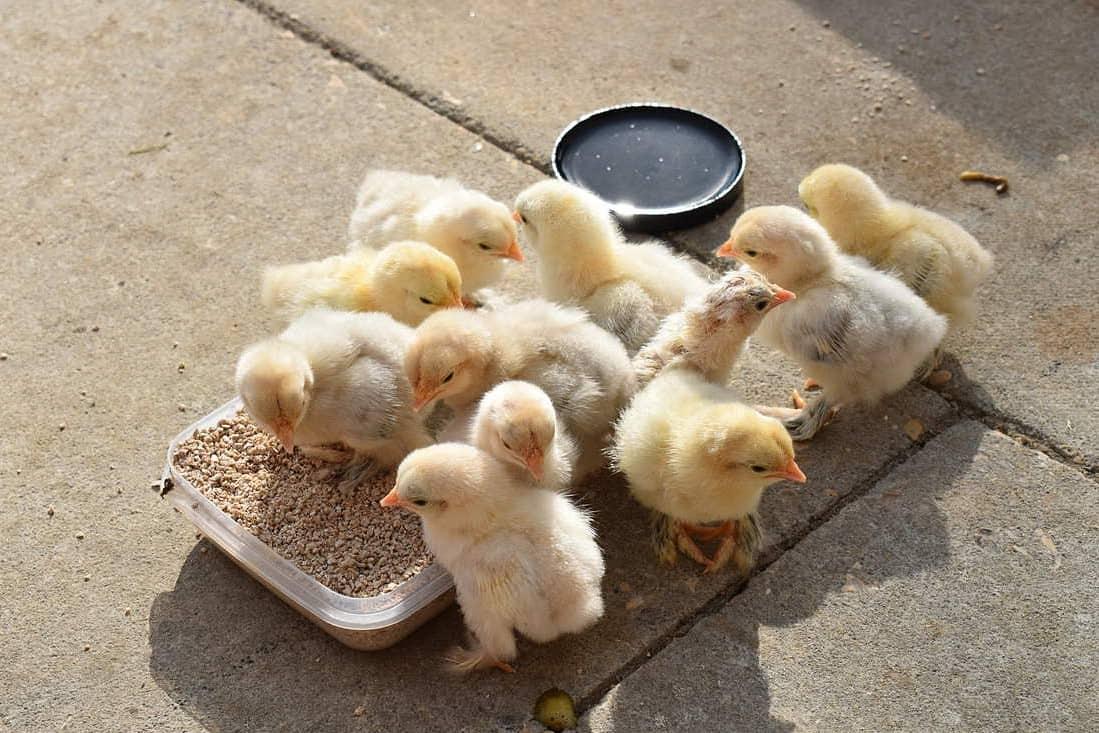 colorado chicken hatcheries