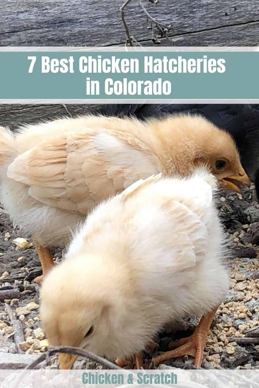 colorado chickens