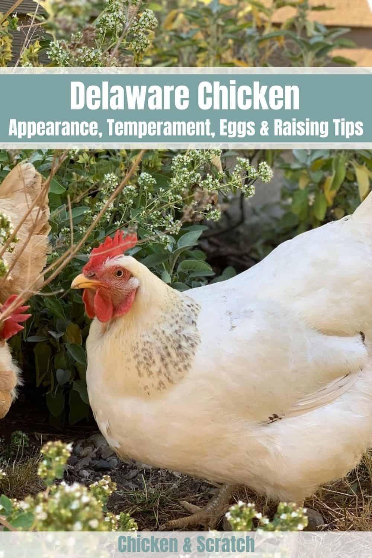 delaware chicken