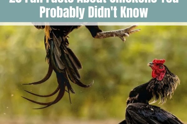 20 Fun Facts About Chickens