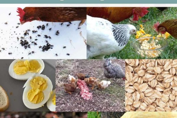 10 High Protein Foods for Chickens During Molting Season