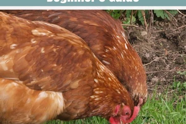 How Much Do Chickens Cost? – Beginner's Guide