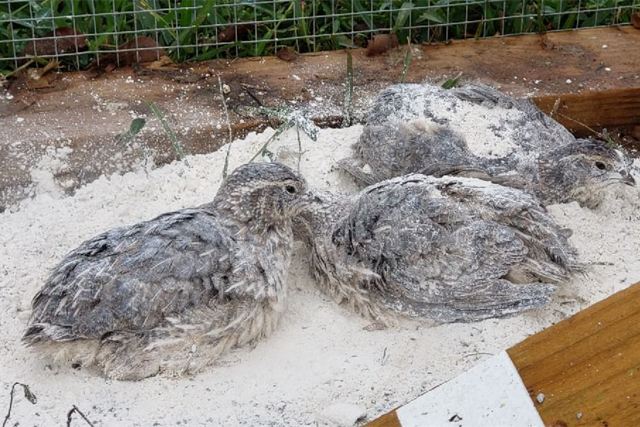 is diatomaceous earth safe for chickens