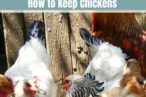 Raising Chickens 101: How to Keep Chickens?