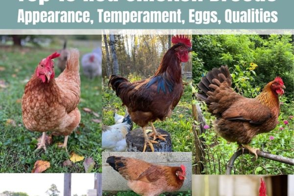 Top 10 Red Chicken Breeds (Appearance, Temperament, Eggs, Qualities)