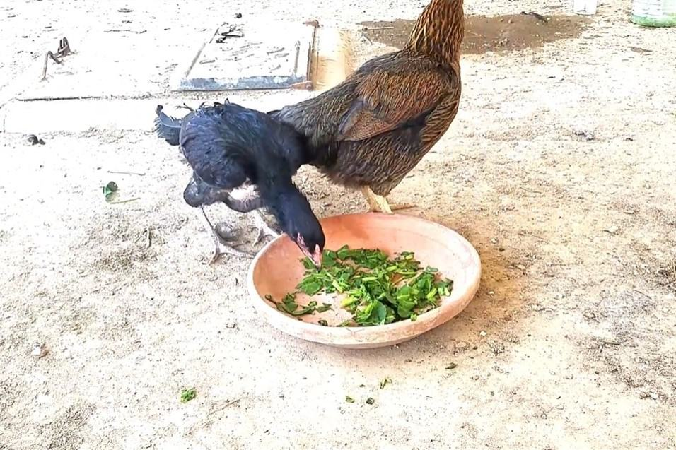 spinach for chickens
