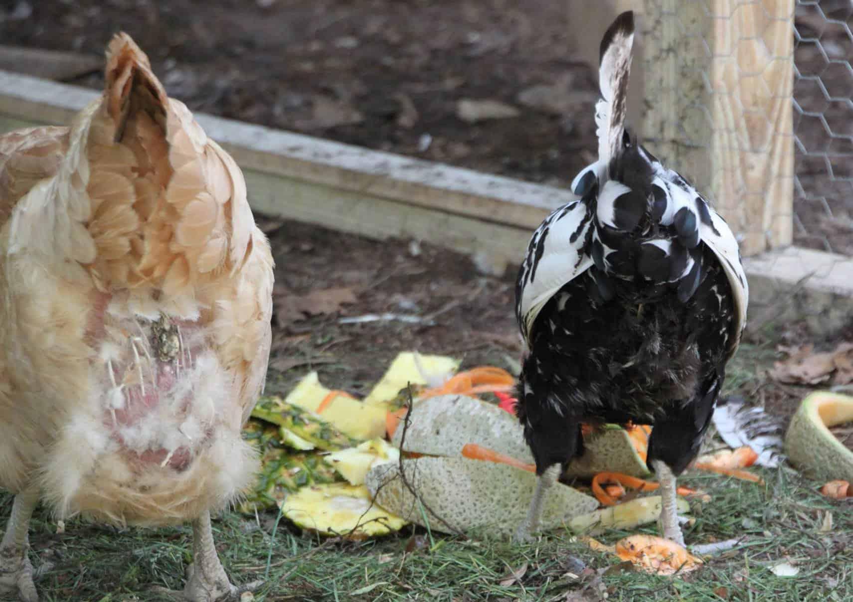 vent gleet in chickens
