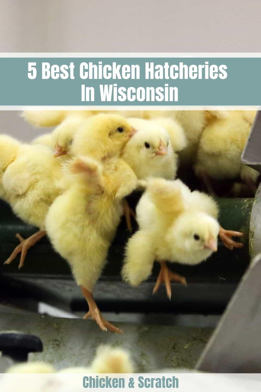 wisconsin chicken hatchery