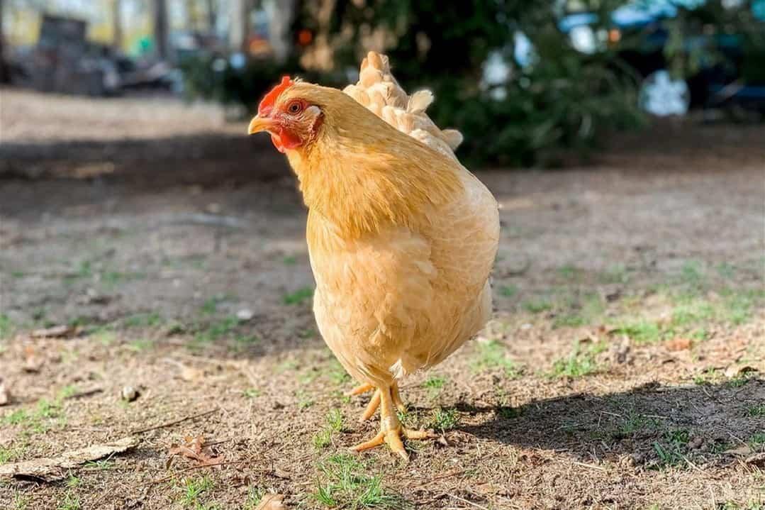 yellow chicken breeds Buff Rock