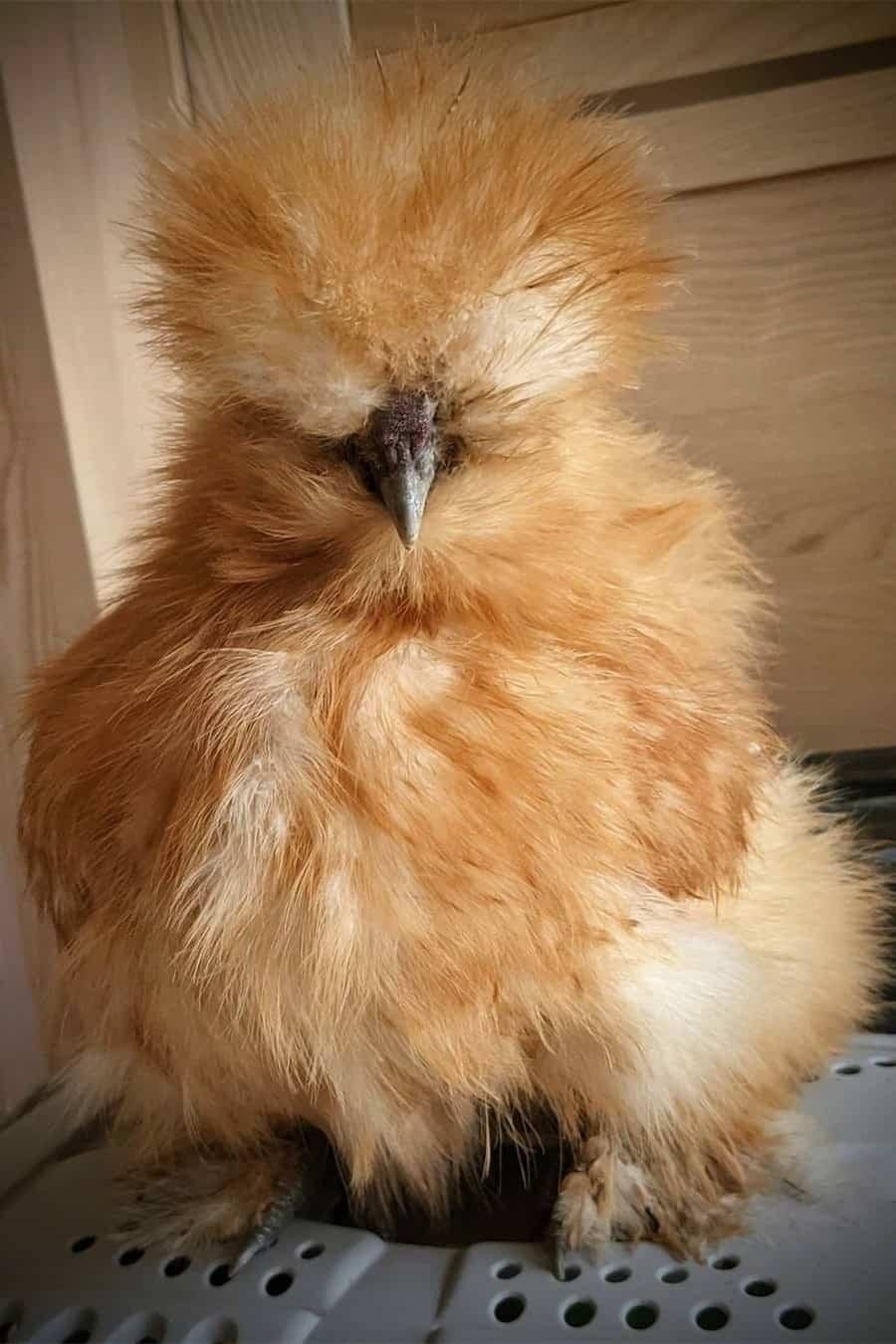 yellow chicken breeds Buff Silkies