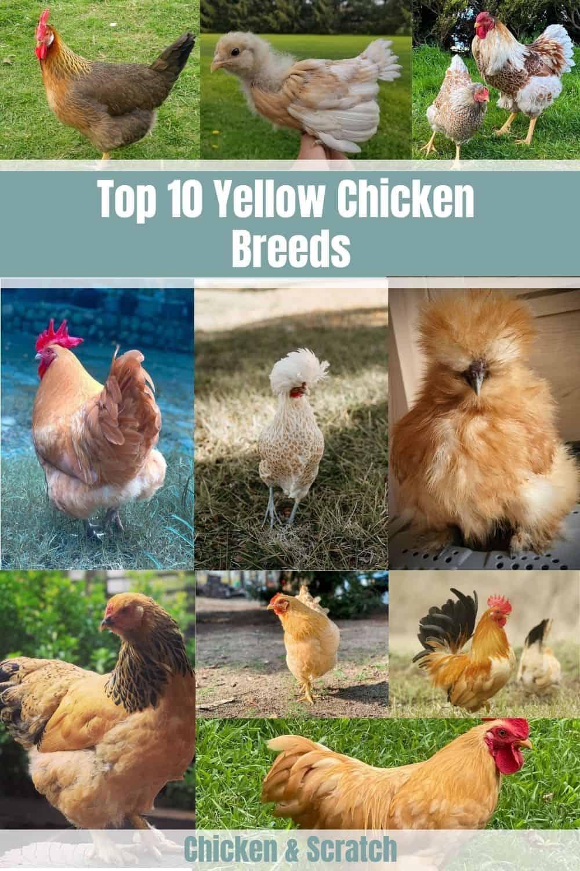 yellow chicken breeds